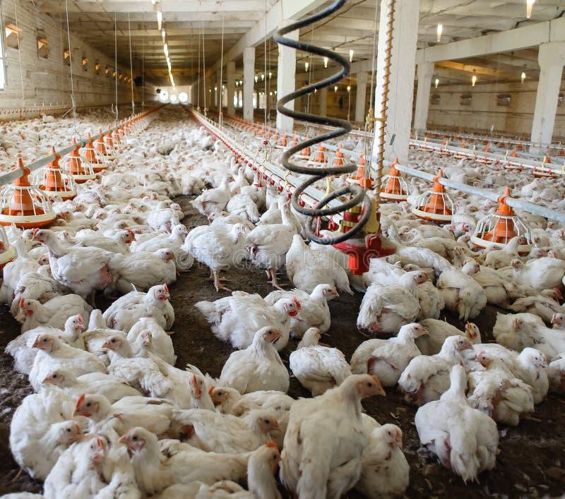 Industrielle Industrieproduktion des essbaren Eies stockbild