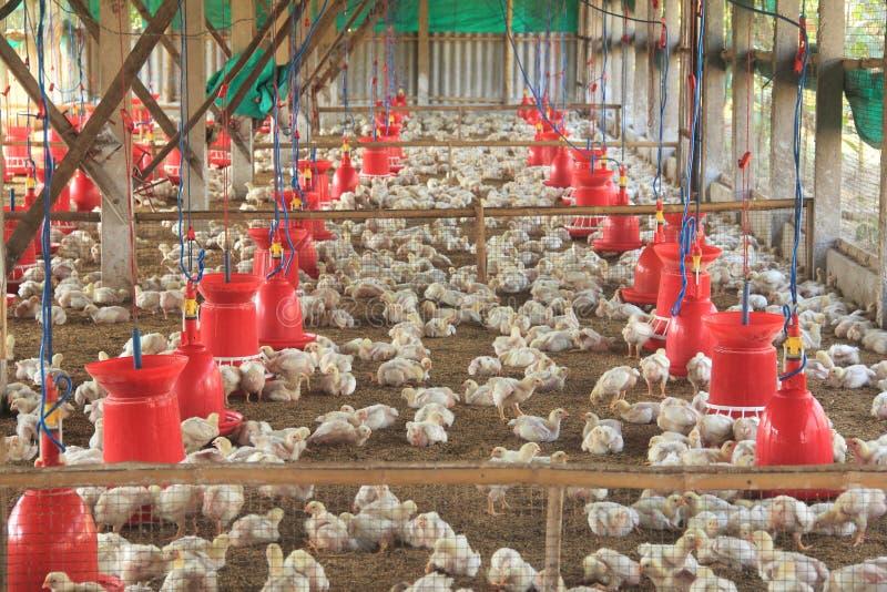 Industrielle Industrieproduktion des essbaren Eies stockbilder