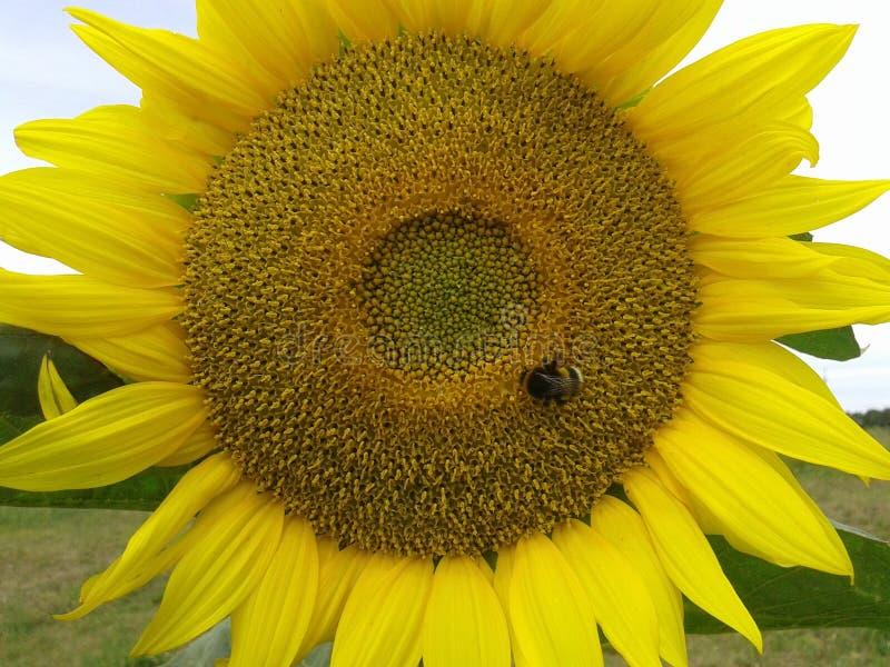 Industrious bumblebee zbiera słodkiego nektar w wielkodusznym słoneczniku fotografia stock
