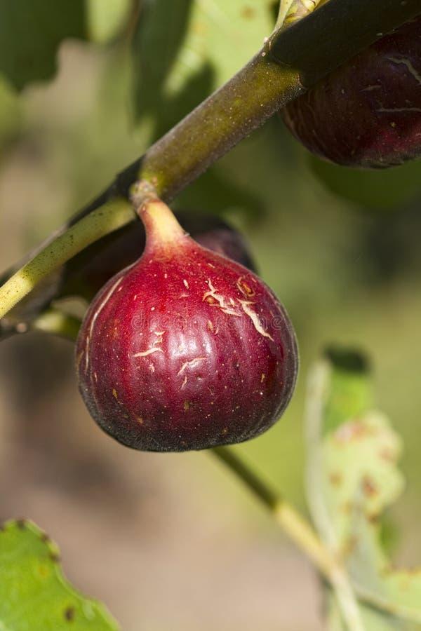 Indyczej lub Pospolitej figi owoc - Ficus Carica zdjęcie royalty free
