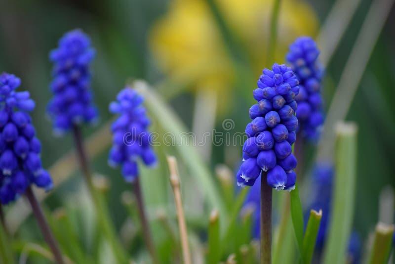 Indygowa wiosna zdjęcia stock