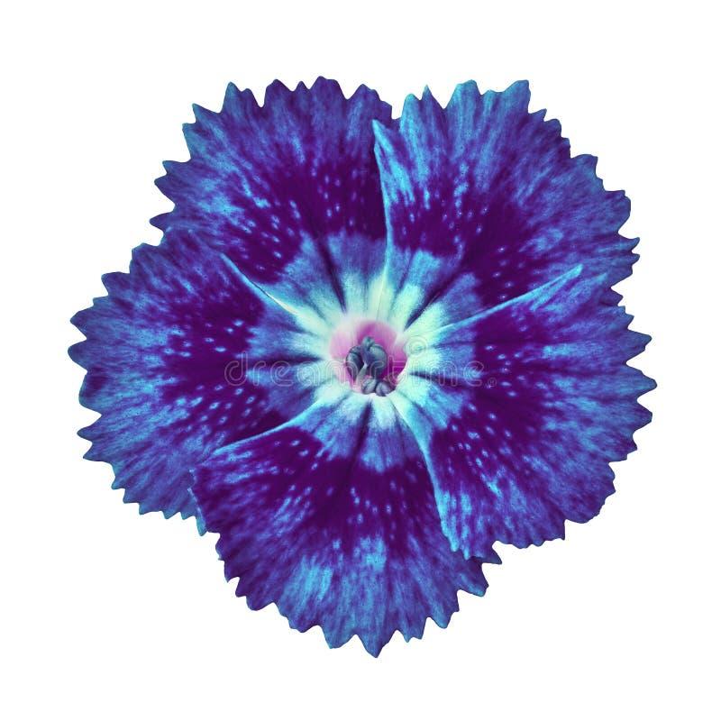 Indygowego błękita goździka kwiat odizolowywający na białym tle Zakończenie fotografia royalty free