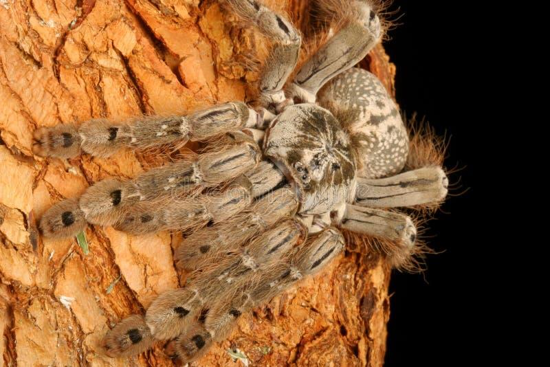 indyjska tarantula ozdobnych zdjęcia stock