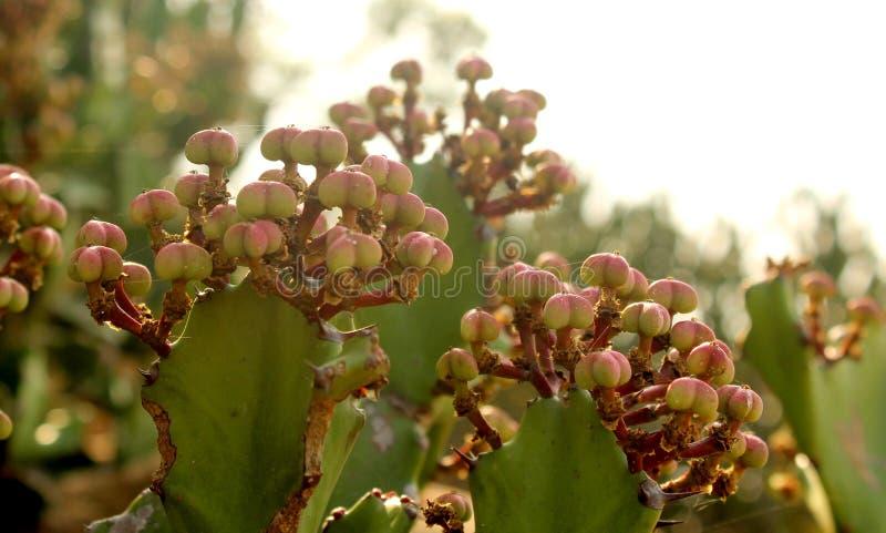 Indyjski kaktusów kwiatów krajobraz obrazy stock