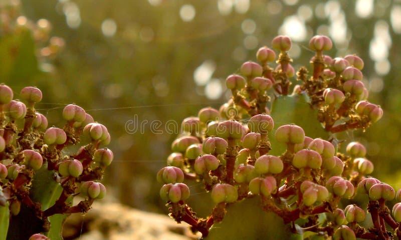 Indyjski kaktus kwitnie z zielonym tło krajobrazem zdjęcia stock