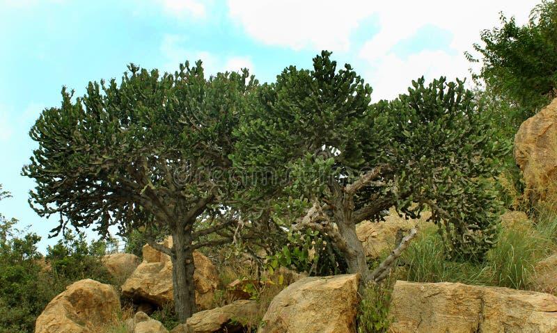 Indyjski kaktus z wzgórzem kołysa z niebo krajobrazem obrazy stock