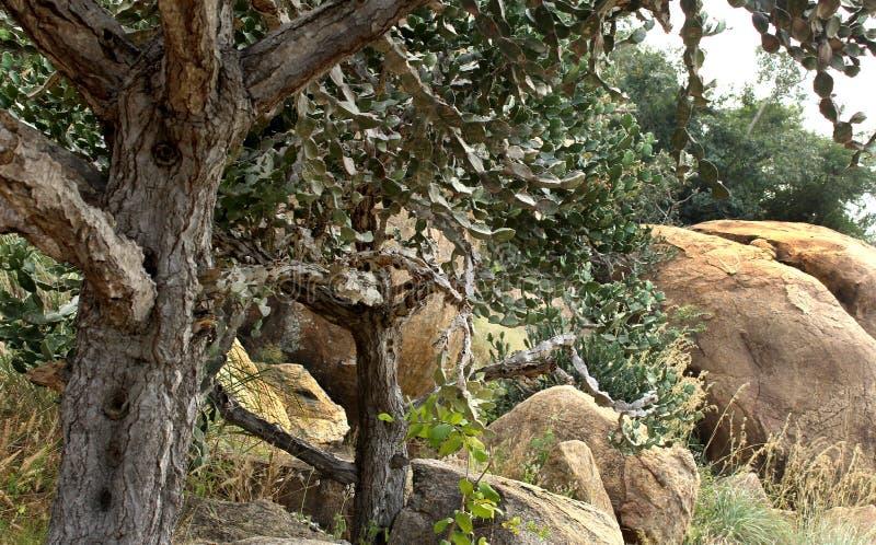 Indyjski kaktus z wzgórzem kołysa z niebo krajobrazem fotografia royalty free