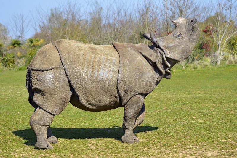 Indyjskie nosorożce podnoszą głowę obrazy stock