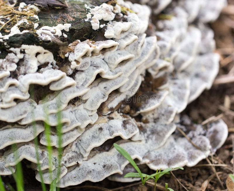 Inedible mushrooms on a stump in the park.  stock photos