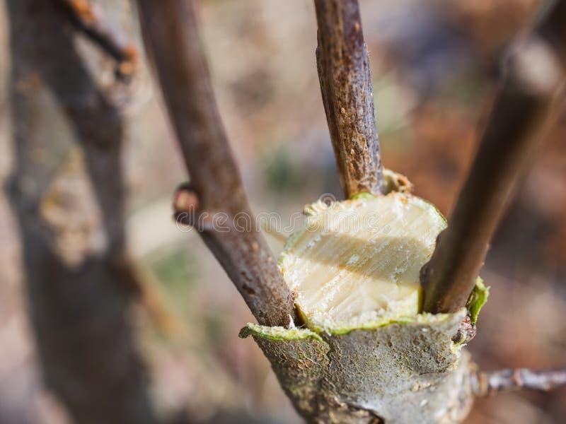 Inenting in de lente van appelbomen in raspis kruising stock foto