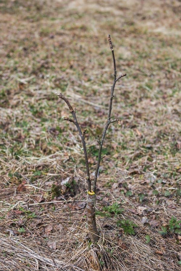 Inenting in de lente van appelbomen in raspis kruising stock afbeeldingen