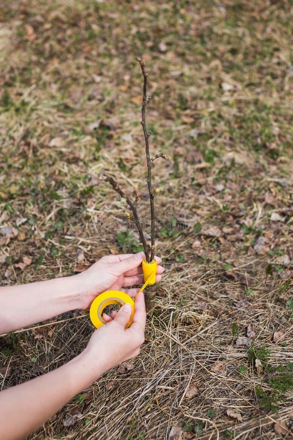 Inenting in de lente van appelbomen in raspis kruising stock afbeelding