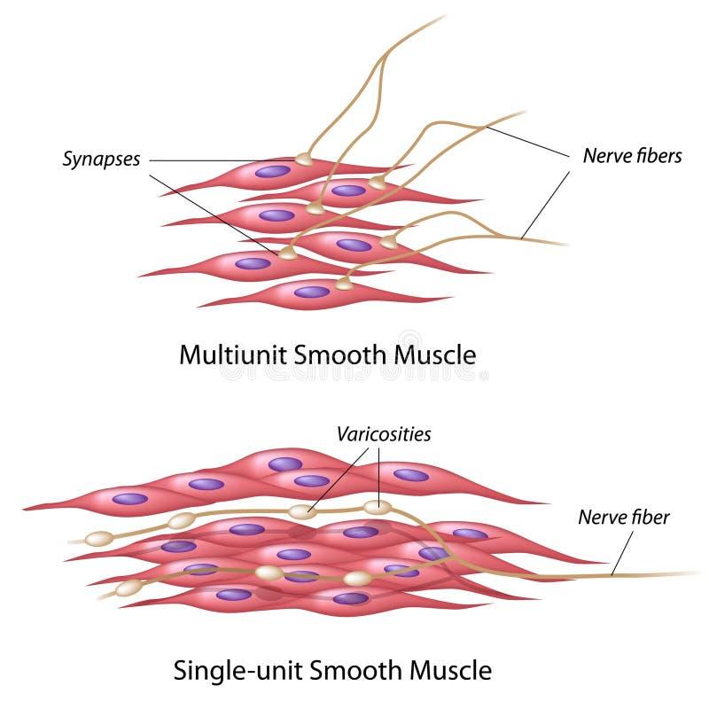 Inervación del músculo liso libre illustration
