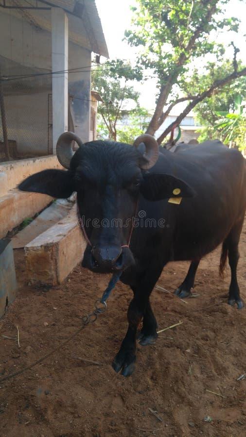 Infödd indisk buffel arkivbild