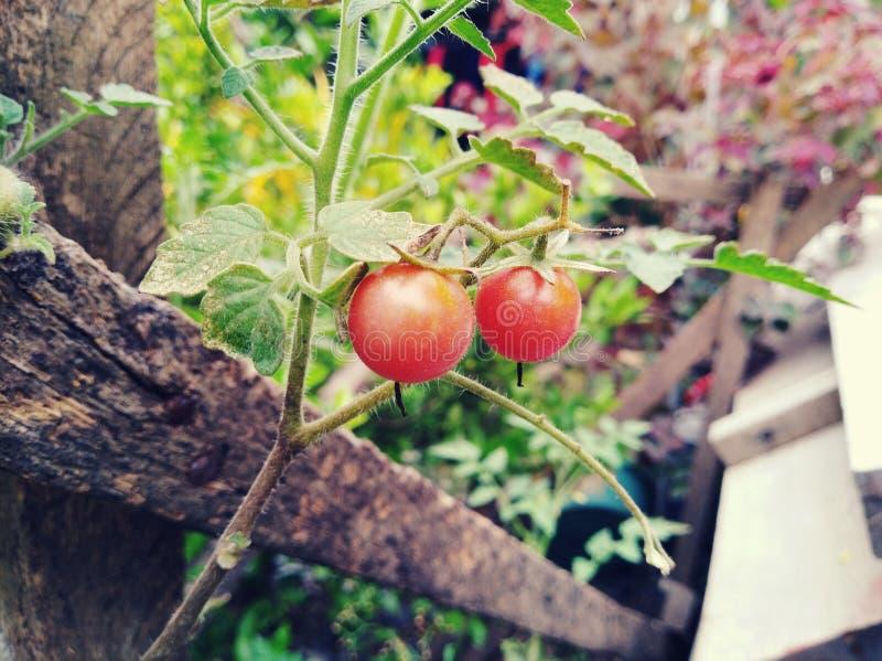 Infödd tomat royaltyfri bild