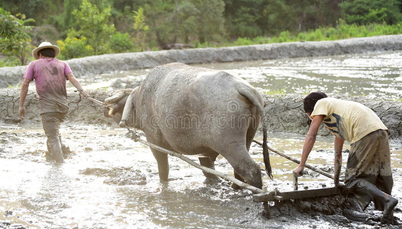 Infödd/traditionell Ploga-terrass Paddyfield-vatten buffel royaltyfria bilder