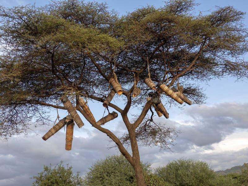 Infödingar gör bikupor och hänger dem på träd, Etiopien arkivbilder