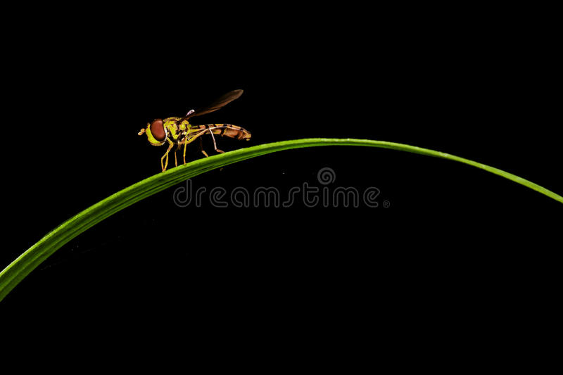 Infant assassin fly stock photography