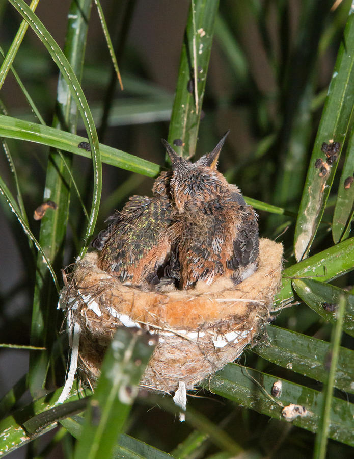 Infant Hummingbirds together in their nest stock photo