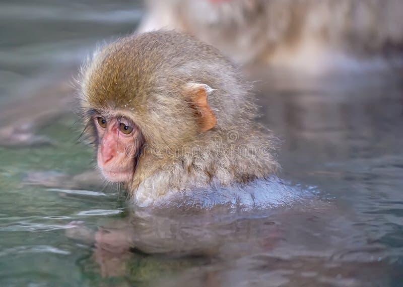 Infant Japanese Monkey bathing in onsen pool at Jigokudani. A small japanese macaque sitting hot onsen at Jigikudani onsen, Japan royalty free stock image
