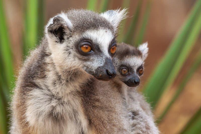 Infantile et adulte Ring Tailed Lemur image libre de droits