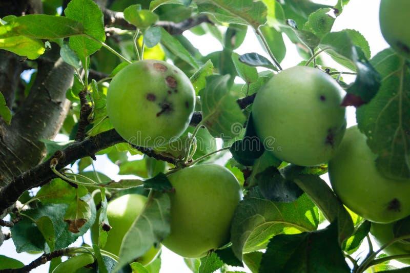 Infection fongique des pommes images stock