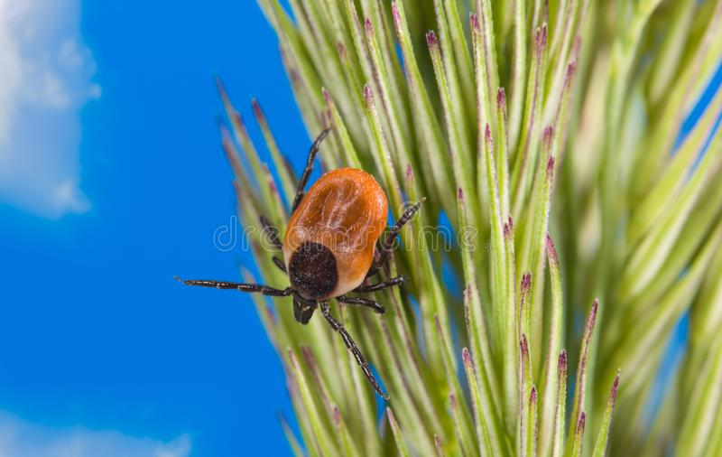 Infectious female deer tick lurking on grass ear. Ixodes ricinus, spica. Mite detail. Acari. Danger in nature. Fed parasite crawling on green spike and blue sky royalty free stock images