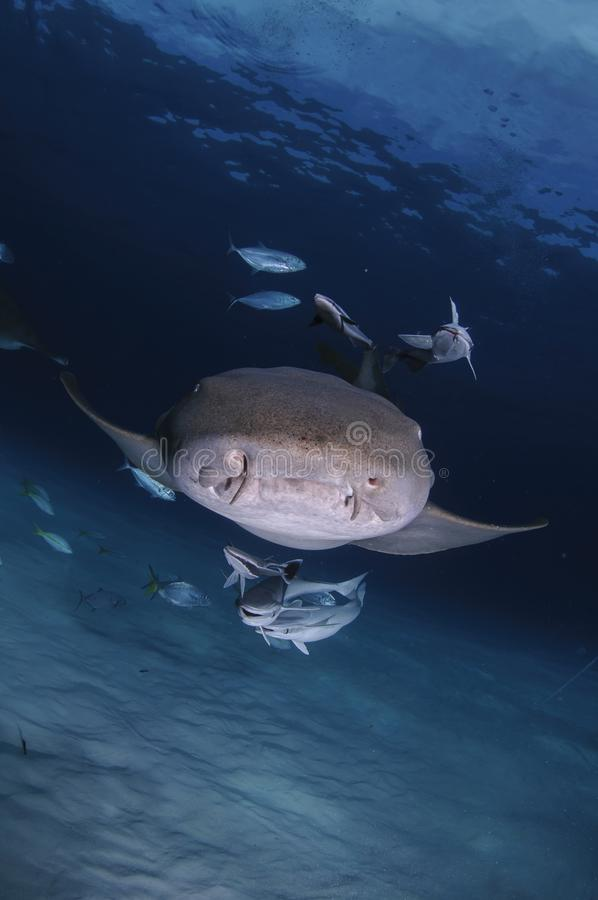 Infermiere Shark Swimming verso voi in chiara acqua delle Bahamas immagini stock libere da diritti