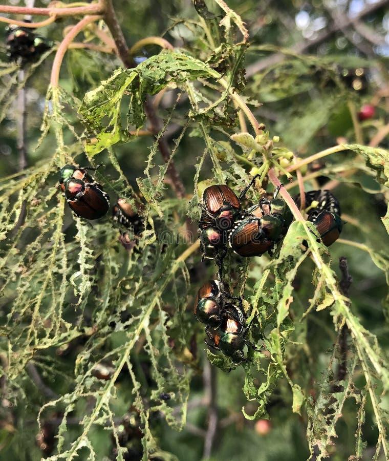 Infestazione di popillia japonica o dello scarabeo giapponese immagini stock libere da diritti