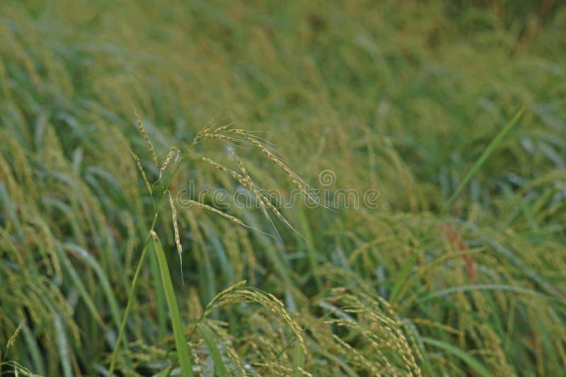 Infestazione piena di erbacce del riso al campo di produzione del riso fotografie stock