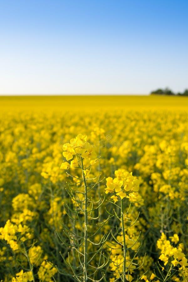 Infinite field of rapeseed, Nezamyslice, Moravia, Czech Rebublic. Europe stock photography