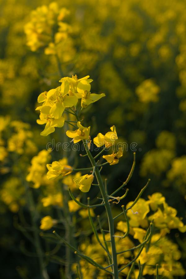 Infinite field of rapeseed, Nezamyslice, Moravia, Czech Rebublic. Europe royalty free stock images