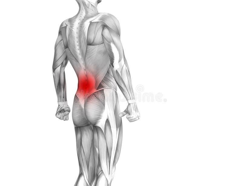 Inflammation d'un rouge ardent de tache d'anatomie humaine arrière illustration libre de droits