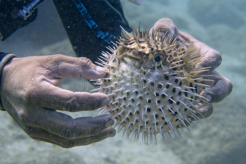 Inflated porcupine puffer fish fish stock image image of for Puffer fish price