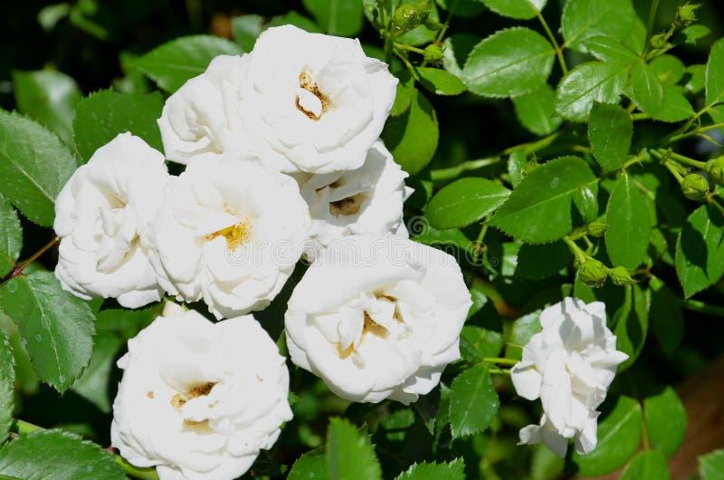 A inflorescência consiste em diversas flores cor-de-rosa brancas foto de stock royalty free