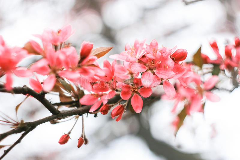 Inflorescência cor-de-rosa cremosa de sakura imagem de stock