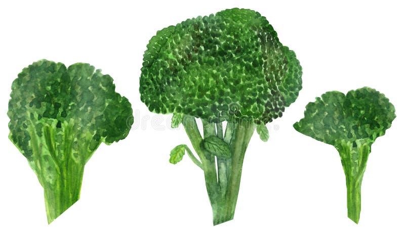 Inflorescência da aquarela dos brócolis da couve verde isolados no fundo branco ilustração stock