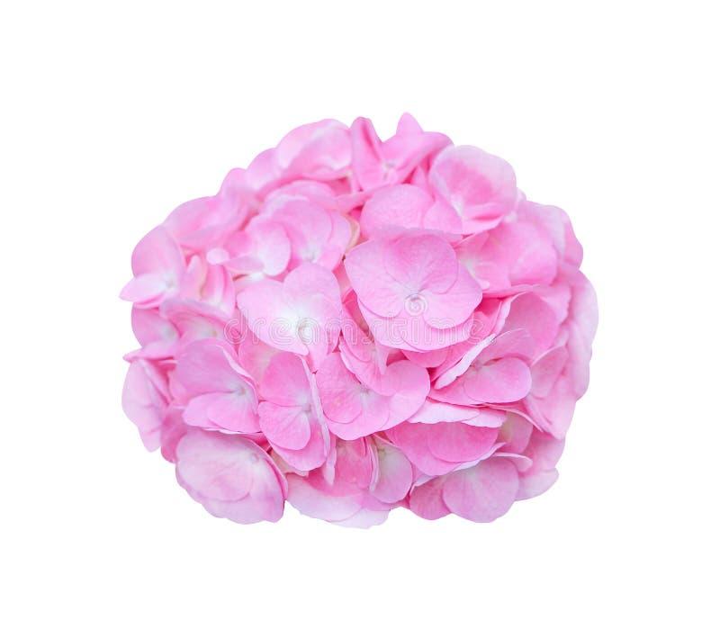 Inflorescência da florescência cor-de-rosa das flores da hortênsia isolada no fundo branco com trajeto de grampeamento foto de stock royalty free