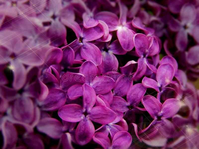 inflorescência da foto lilás do macro do close-up fotografia de stock