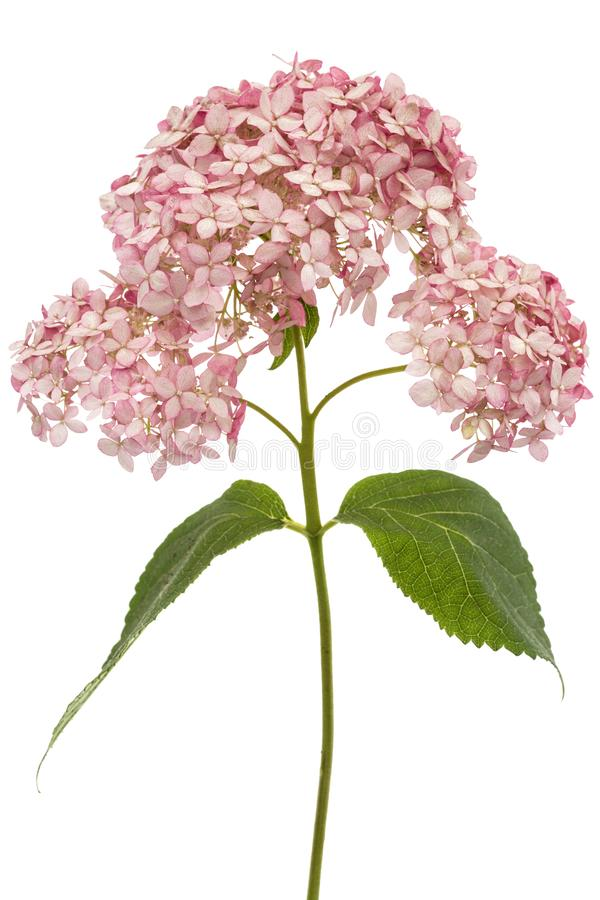 Inflorescência das flores cor-de-rosa do close-up da hortênsia, isoladas no fundo branco fotos de stock royalty free