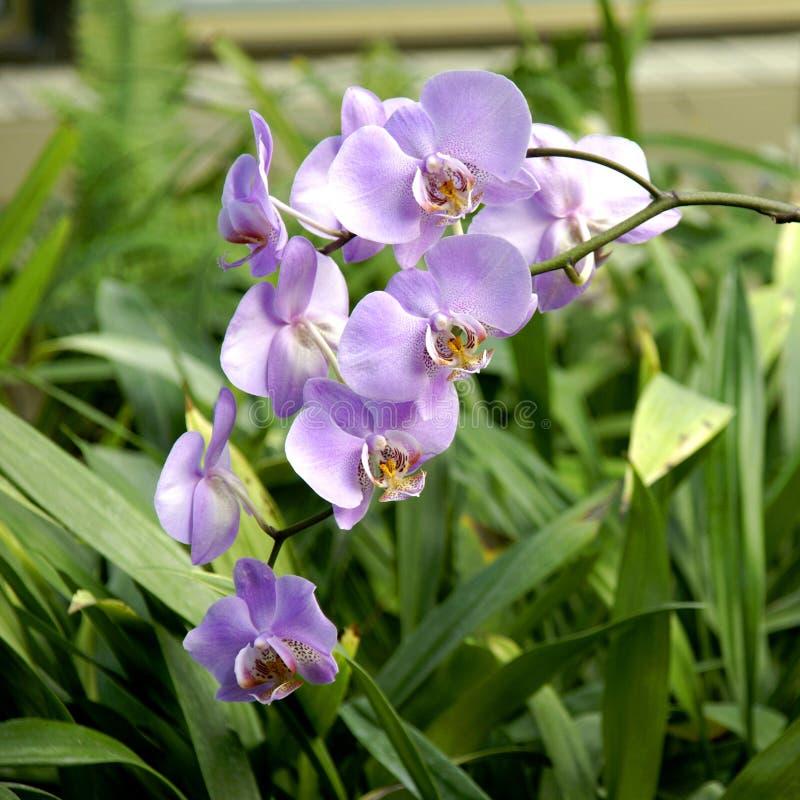 Inflorescência das orquídeas. fotos de stock royalty free