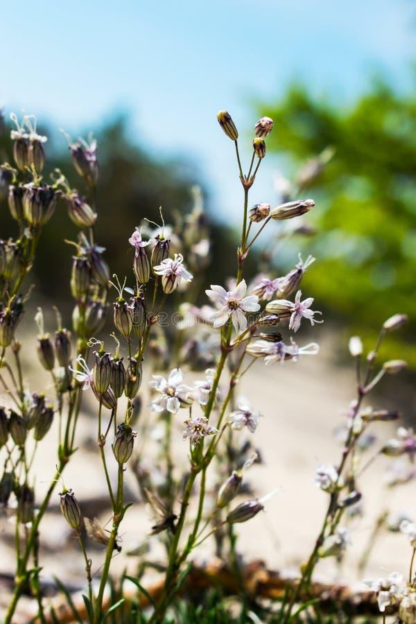 Inflorescência do paniculata pequeno Kachim do Gypsophila do amaranto das flores brancas, Kermek em um papel de parede verde da t foto de stock
