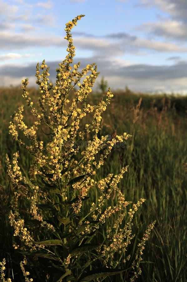 Inflorescência do pyramidatum lanoso do Verbascum de Mullein As flores e as folhas amarelas são demulcent antisséptico, adstringe foto de stock royalty free