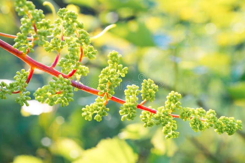 Inflorescência nova das uvas no close up da videira Uva com yo foto de stock royalty free