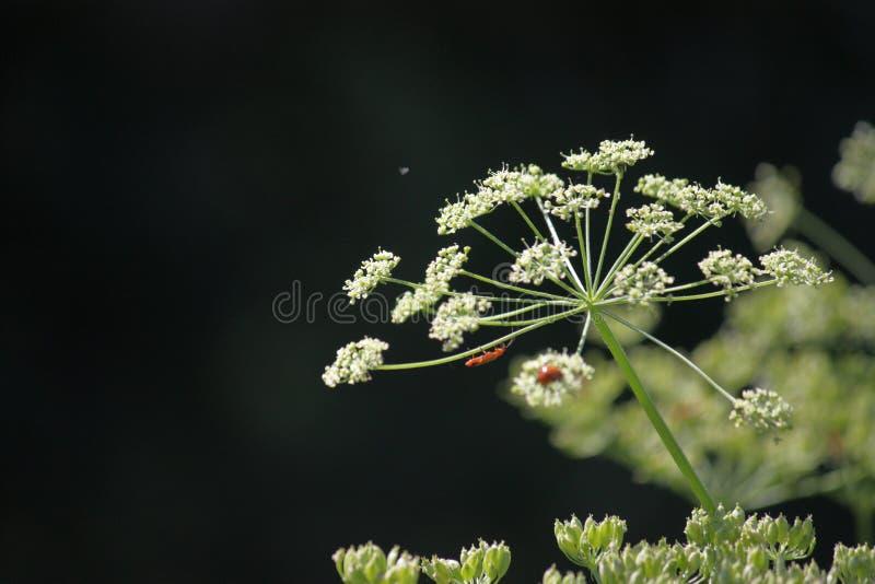 Inflorescência sob a forma dos guarda-chuvas Grama alta verde em um prado do verão O fundo ? borrado fotos de stock royalty free