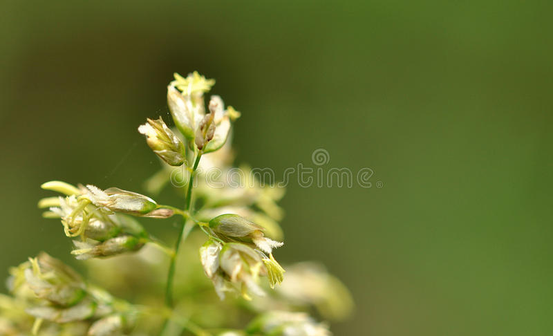 inflorescence image stock