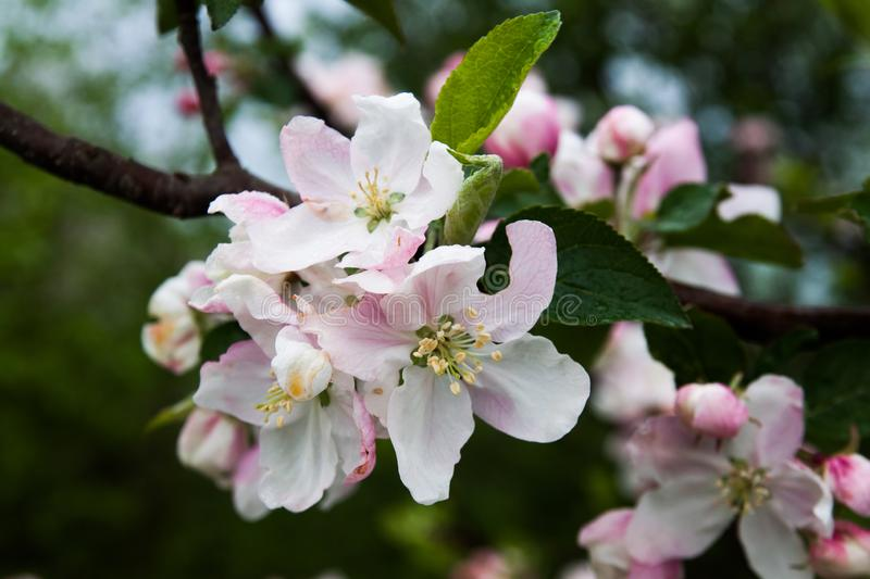 Inflorescence of an apple royalty free stock image