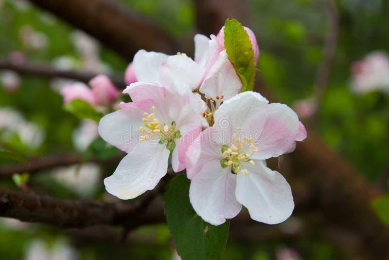 Inflorescence of an apple stock photos