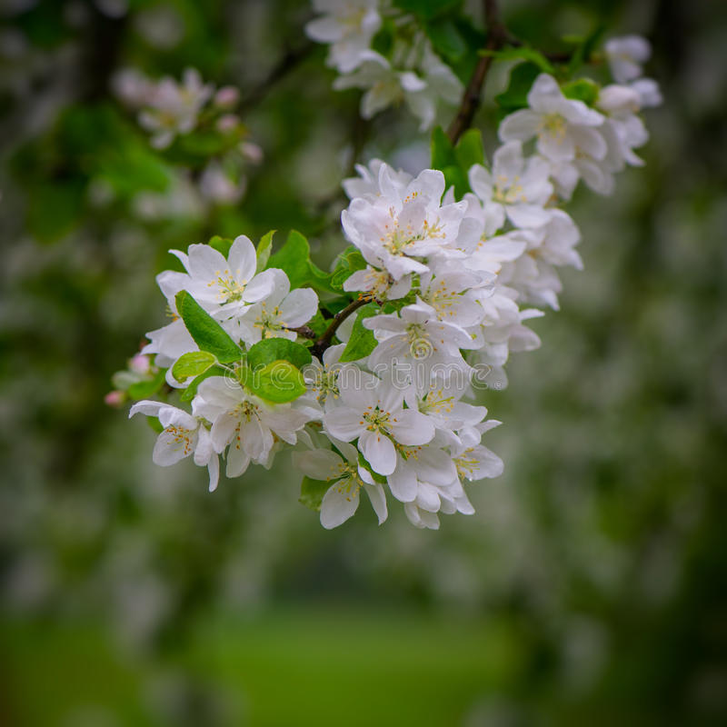 Inflorescence of apple tree royalty free stock photo