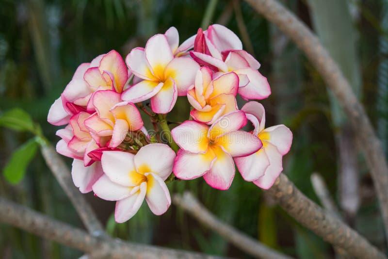Inflorescence av för vitguling för mång- färg rosa plumerias arkivfoto